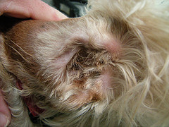 Plucking Dog Ear Hair