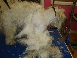 How To Groom A Matted Dog Diy Dog Grooming